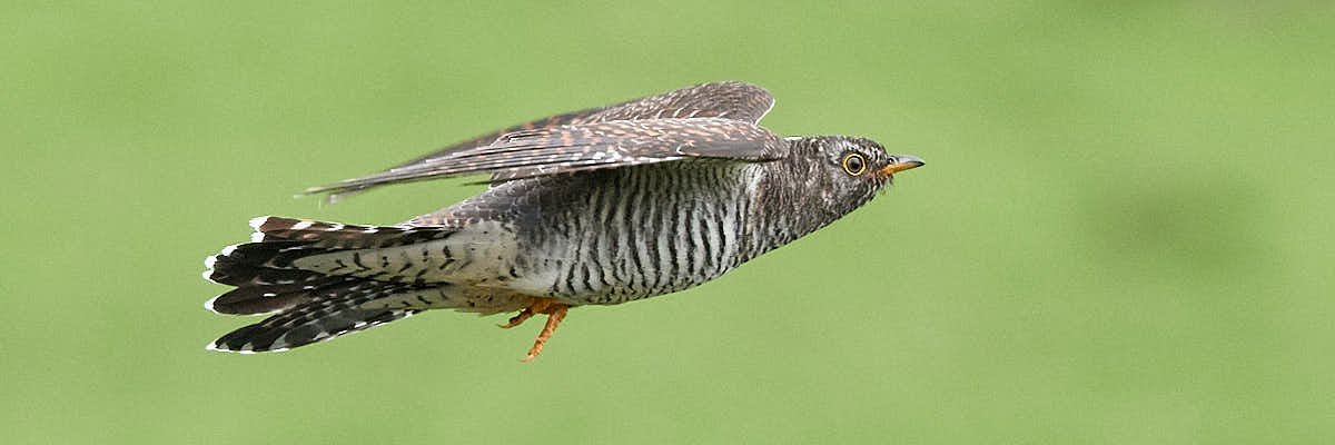 Juvenile cuckoo in flight