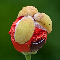 Poppy bursting into flower